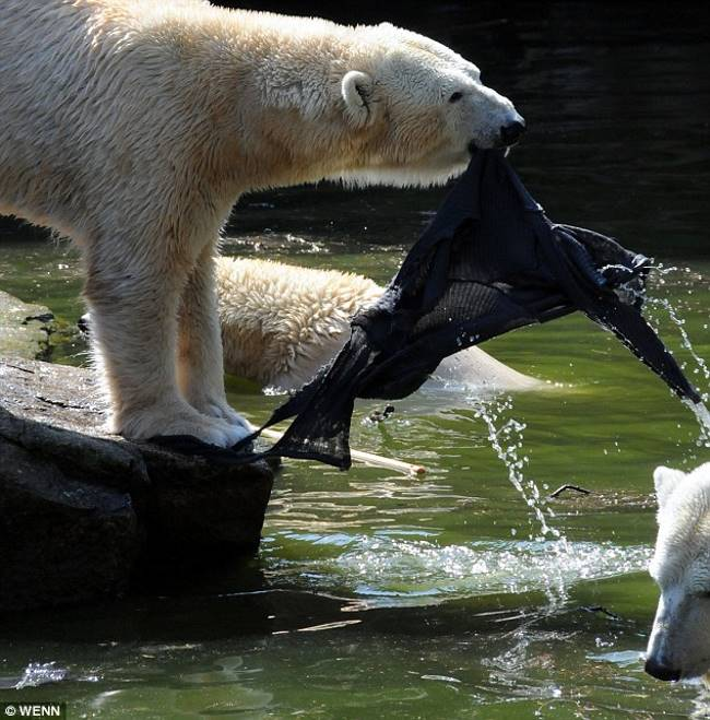 do polar bears attack humans?
