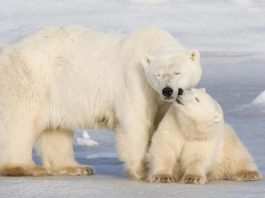 are polar bears going extinct