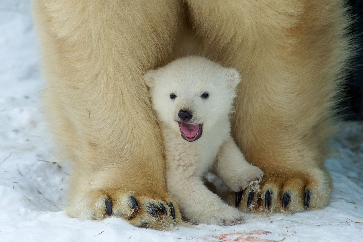 why are polar bears white
