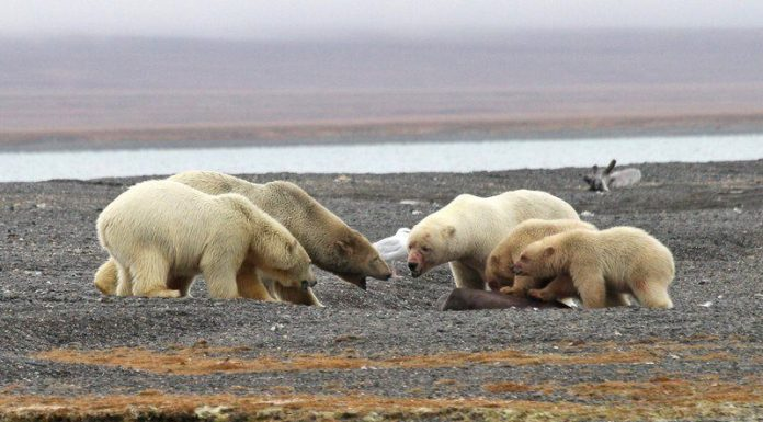 are there polar bears in russia