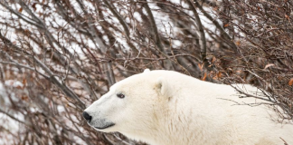 polar bear facts for preschoolers