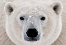 how can we save polar bears?