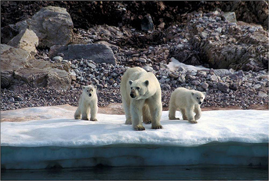 are there polar bears in greenland