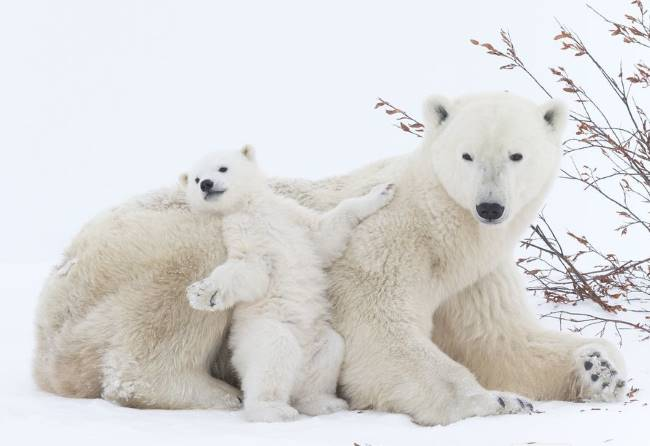 how do polar bears stay warm