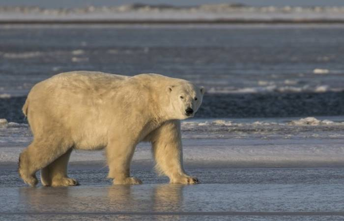 polar bear scientific name