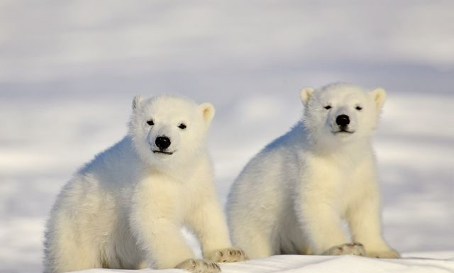 what does a baby polar bear look like