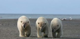 how many polar bears are left in the world