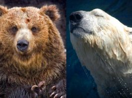 polar bear vs grizzly bear