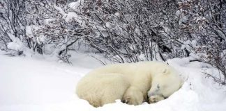 do polar bears hibernate