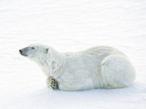 do polar bears live in antarctica