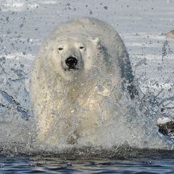 how fast do polar bears run