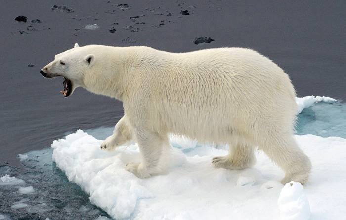 polar bear behavior facts