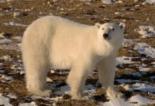 causes of polar bears deaths
