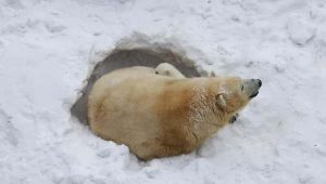 polar bear den