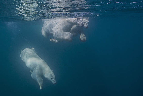 how fast can a polar bear swim