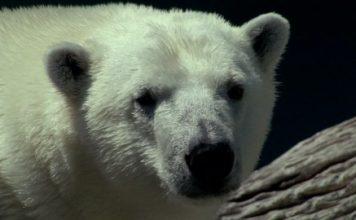 polar bear classification