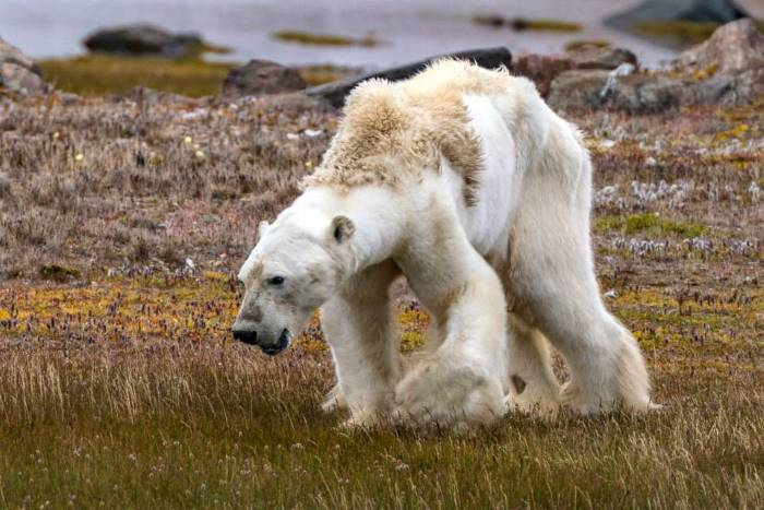 why are polar bears going extinct?