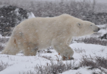 10 facts about polar bears