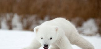how much does a baby polar bear weigh