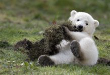 what do you call a baby polar bear