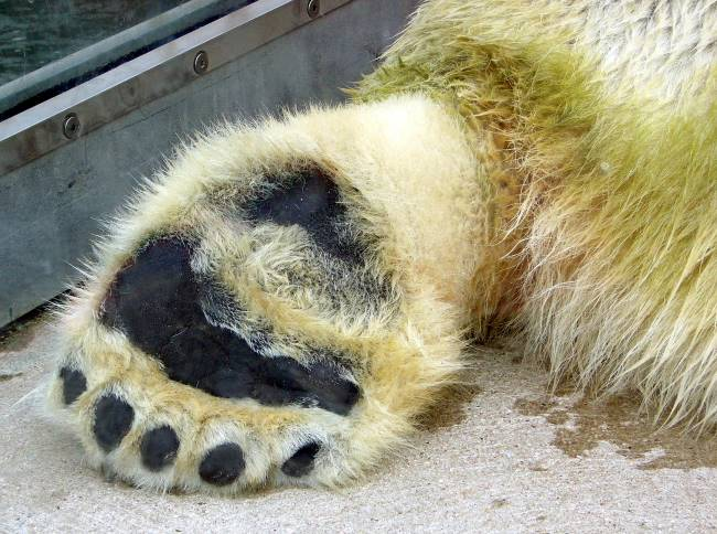 why does a polar bear have very wide large paws
