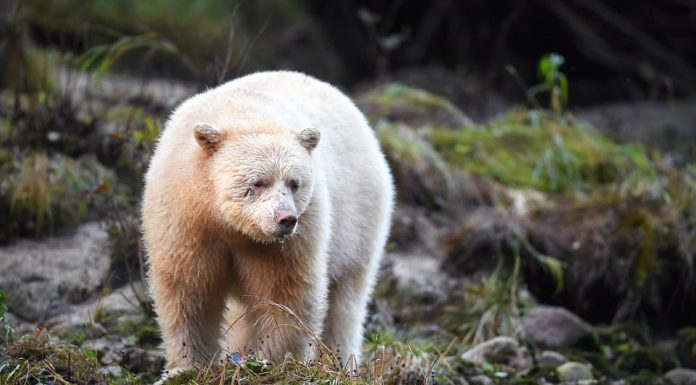how many species of polar bears are there?