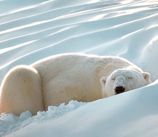 how long do polar bears hibernate