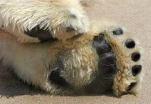 how big is a polar bear paw