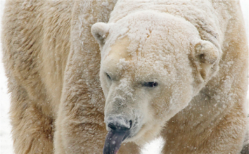 what color is a polar bear tongue?