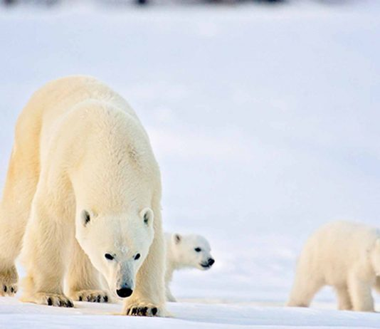 when do polar bear cubs leave their mother?
