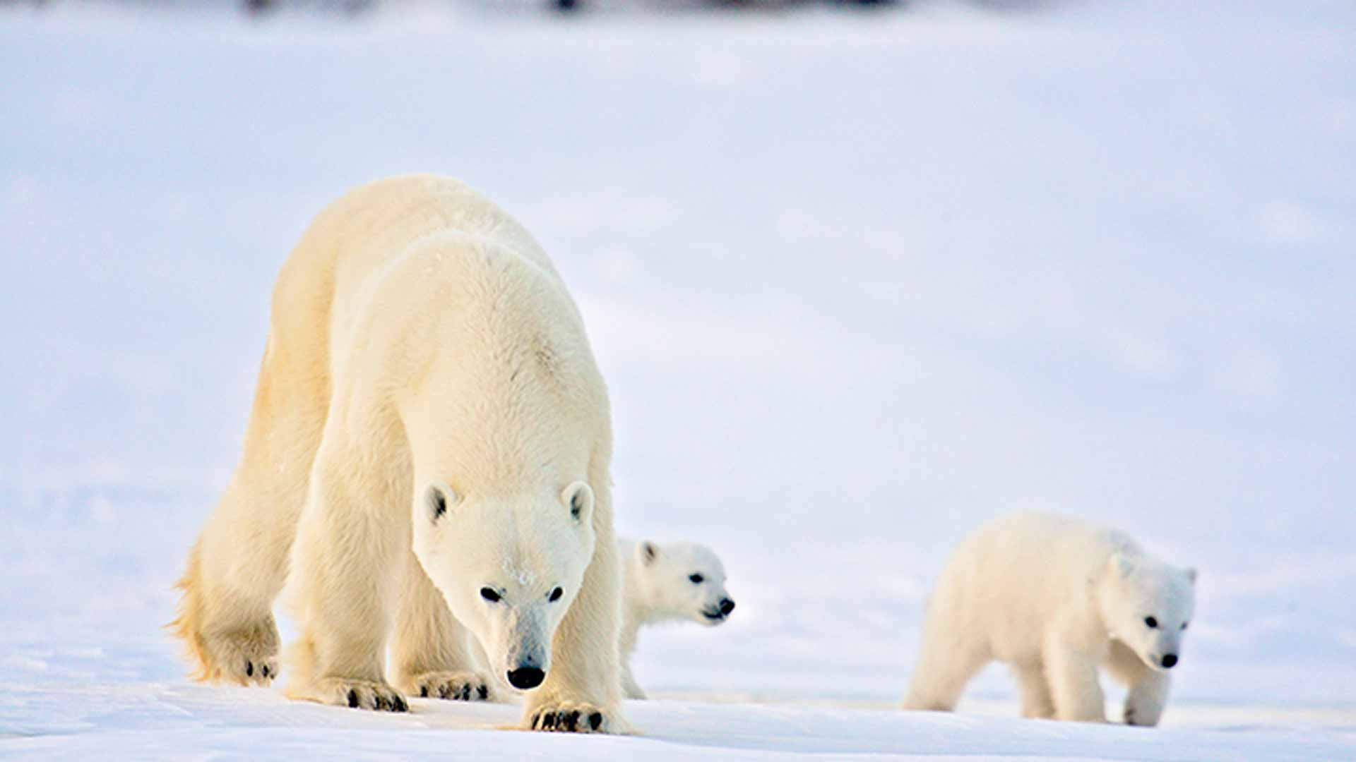 When Do Polar Bear Cubs Leave Their Mother