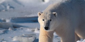 5 facts about polar bears