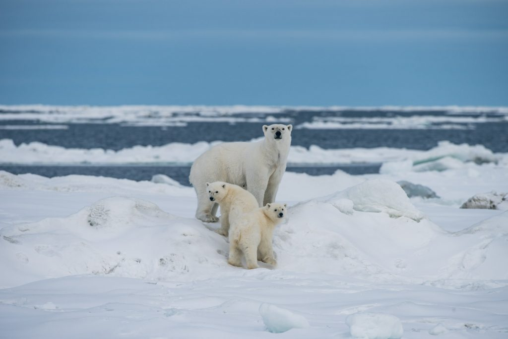 how many babies do polar bears have?