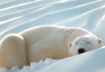 how long do polar bears sleep?