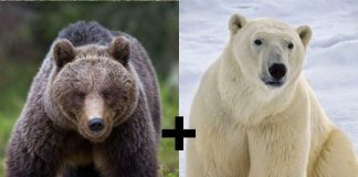 is a polar bear bigger than a grizzly bear